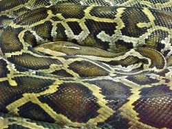 A reticulated python, coveted for its skin